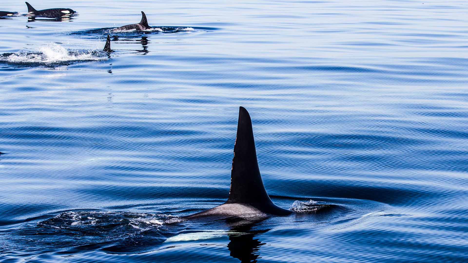 Killer whales swimming, only showing their fins.
